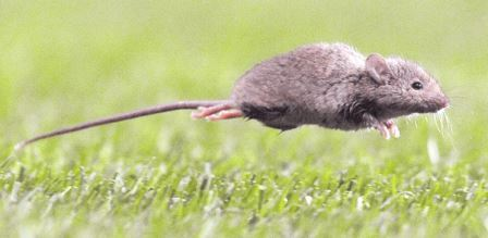 raton-colilargo